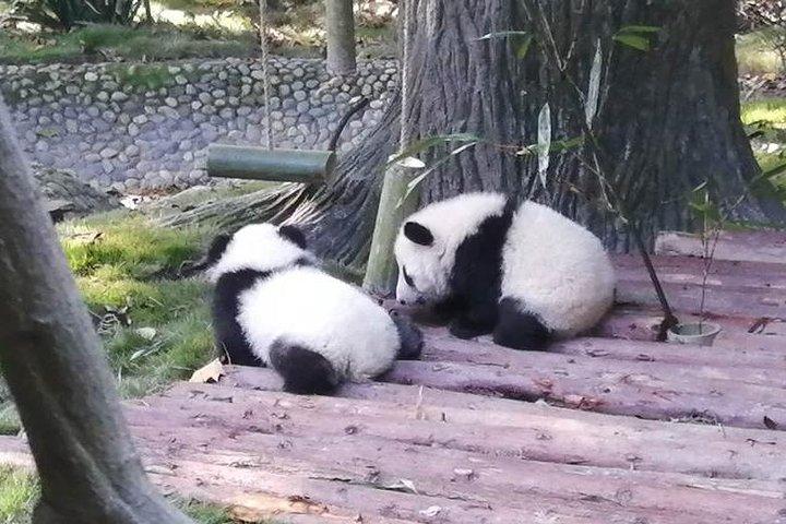 Meet pandas in their playtime