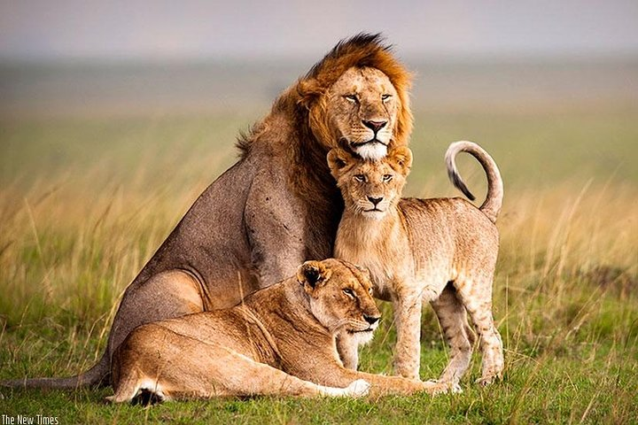 Mighty lions resting in Akagera National Park