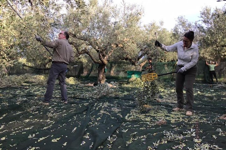 Olive harvesting and mini lunch in Messinia, Greece!