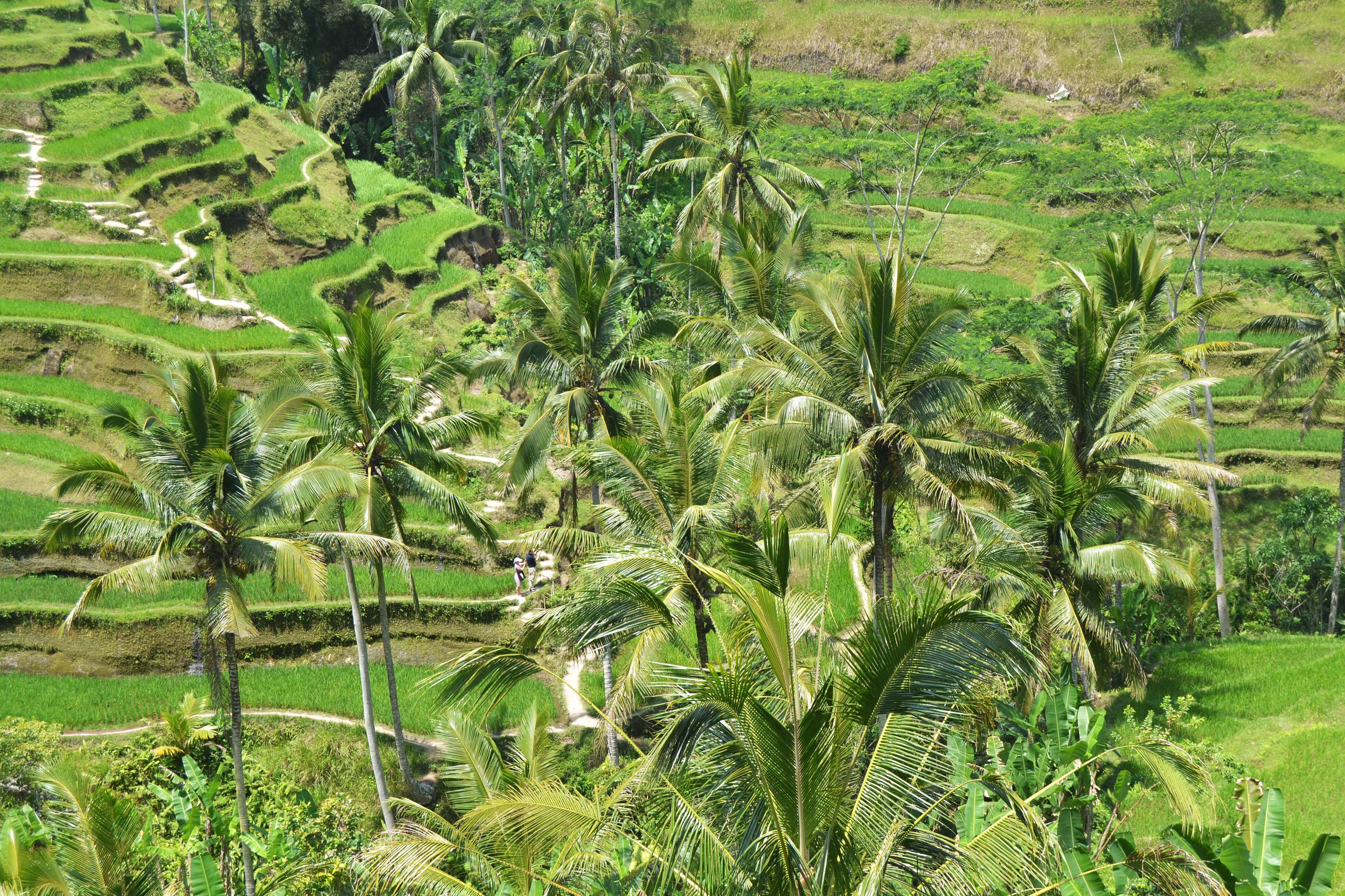 See the splendid rice fields