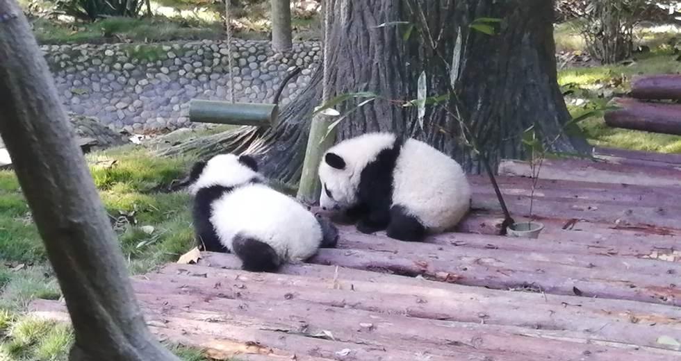 Meet pandas in the centre