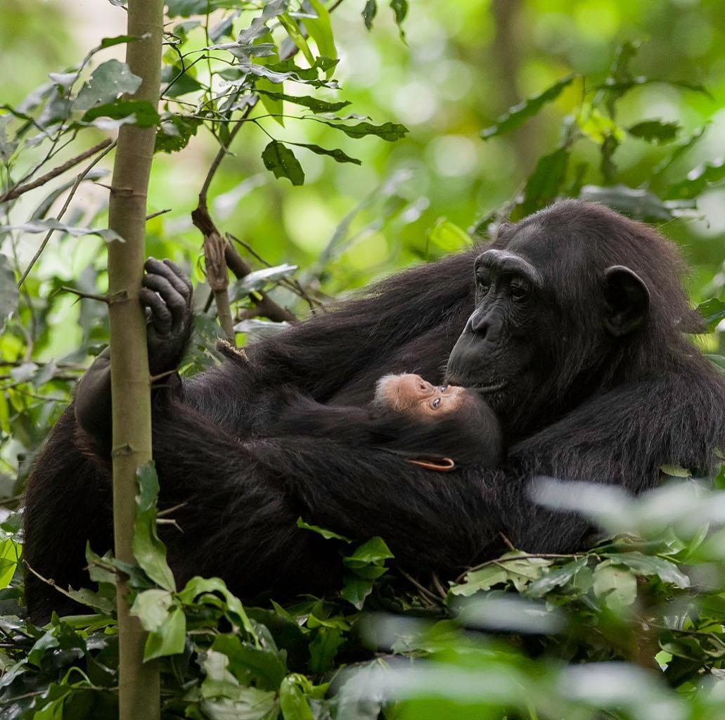 Enjoy tracking chimpanzees