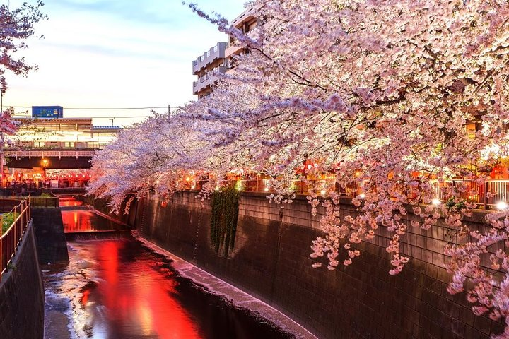 Evening Hanami (Cherry Blossom) Experience with a Local