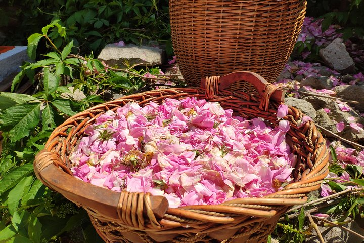 Picking Roses Workshop with Extracting Rose Oil in the Gardens of Karlovo