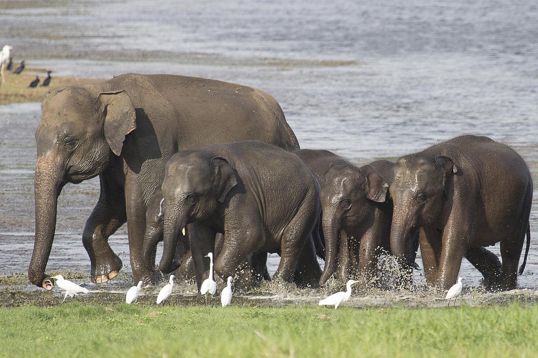Freshly bathed elephants