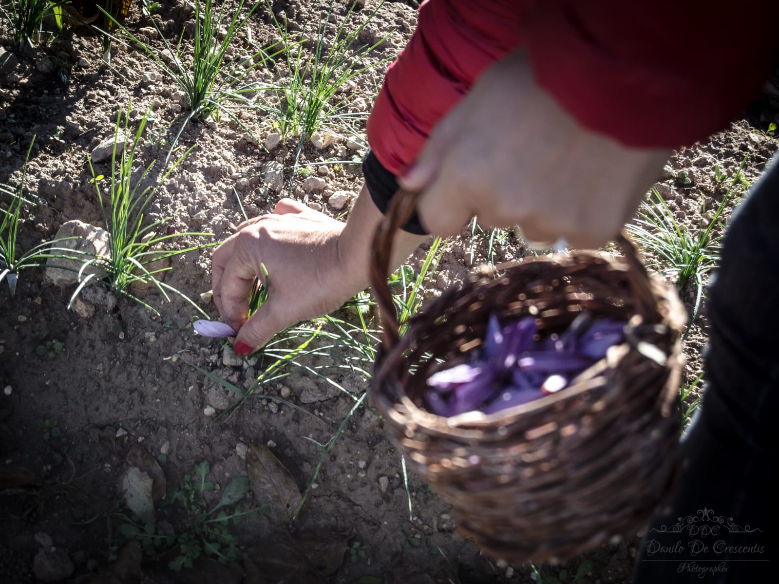 Unique experience - come to the saffron harvest and collect the valuable red gold of Abruzzo with us