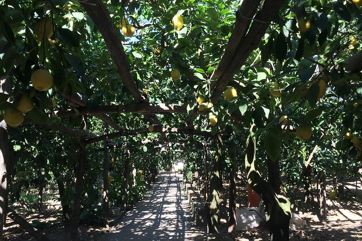 Discover a Lemon Grove with Demo and Lunch from Sorrento