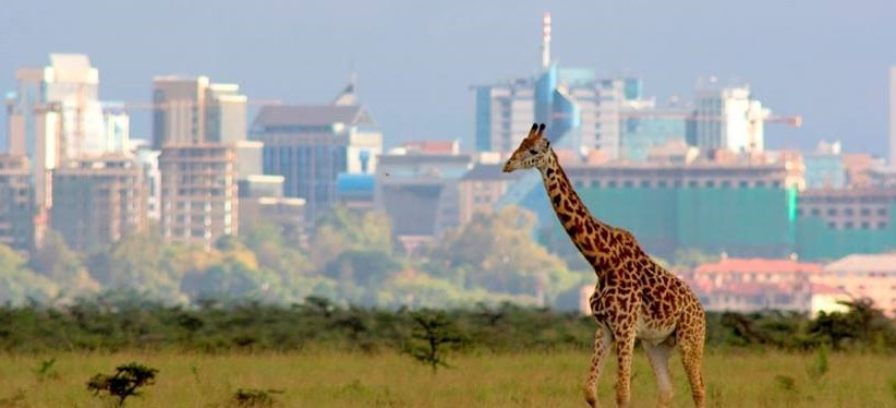 Giraffe with the city background