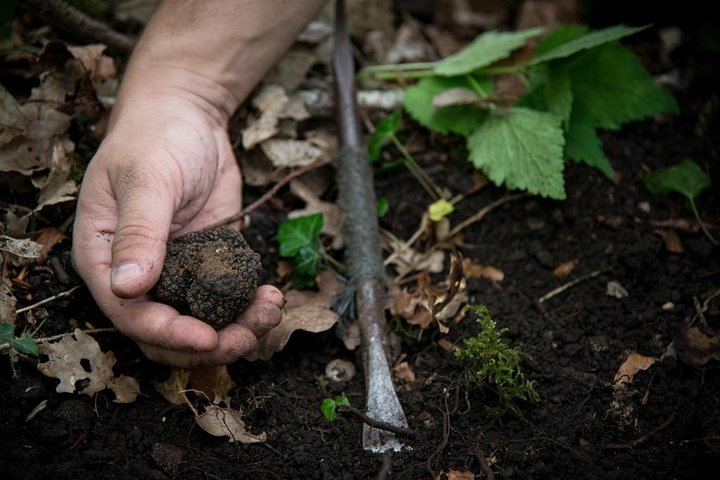 Truffle Digging Demonstration And Tasting