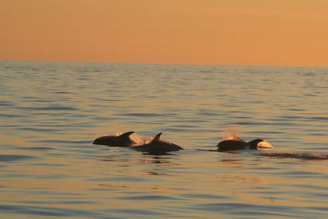 Whales in the Midnight Sun