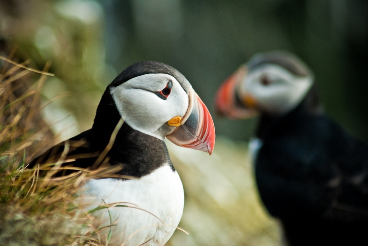 The adorable little puffins.